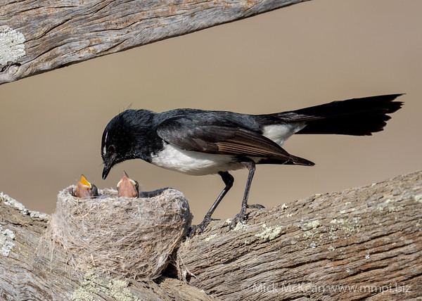 MMPI_20201001_MMPI0064_0006 - Willie Wagtail (Rhipidura leucophrys) about to feed one of its nestlings.