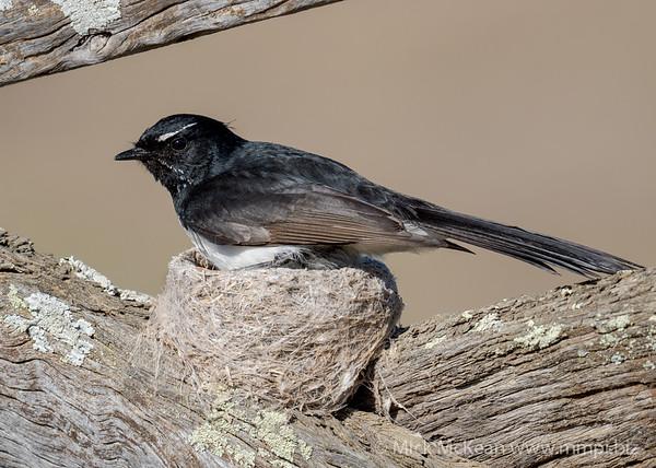 MMPI_20201001_MMPI0064_0004 - Willie Wagtail (Rhipidura leucophrys) sitting on its nest.