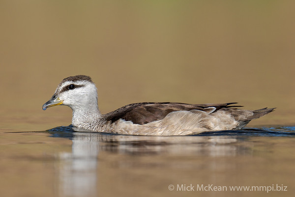 MMPI_20201001_MMPI0064_0016 - Cotton Pygmy Goose (Nettapus coromandelianus) (female) swimming on a golden lagoon.