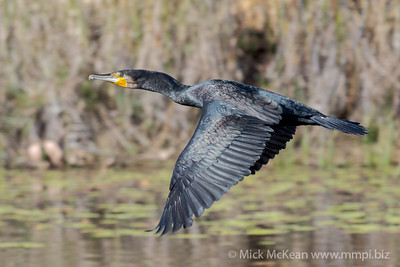 MMPI_20201001_MMPI0064_0012 - Great Cormorant (Phalacrocorax carbo) in flight above a lagoon.