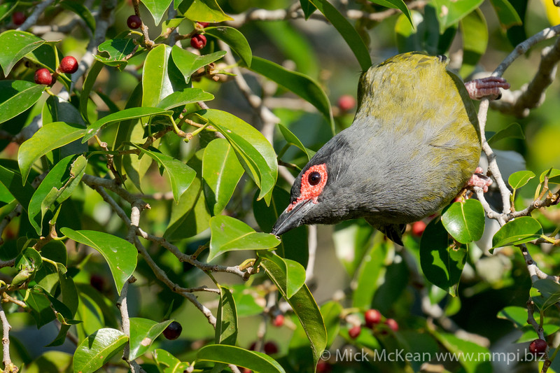 MMPI_20201002_MMPI0064_0006 - Australasian Figbird (Sphecotheres vieilloti) (male) looking for its next fig fruit meal.