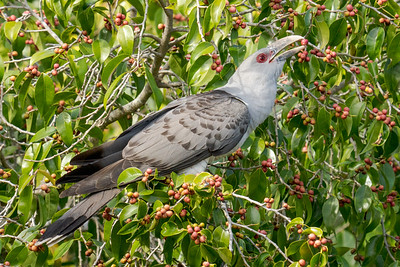 MMPI_20201003_MMPI0064_0002 - Channel-billed Cuckoo (Scythrops novaehollandiae) feeding on fruit from a fig tree.