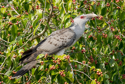 MMPI_20201003_MMPI0064_0001 - Channel-billed Cuckoo (Scythrops novaehollandiae) peching in a fruiting fig tree.
