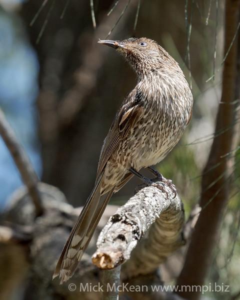 MMPI_20201004_MMPI0064_0013 - Little Wattlebird (Anthochaera chrysoptera) perching in a tree.