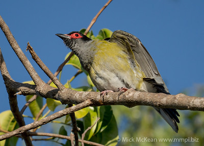 MMPI_20201004_MMPI0064_0001 - Australasian Figbird (Sphecotheres vieilloti) (male) flexing its wings in a tree.