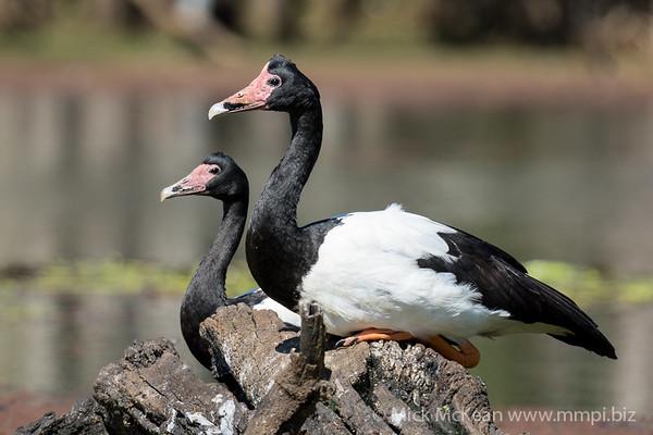 MMPI_20201005_MMPI0064_0011 - Magpie Goose (Anseranas semipalmata) pair sittiing on a fallen tree on a lagoon.