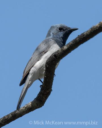 MMPI_20201005_MMPI0064_0010 - Leaden Flycatcher (Myiagra rubecula) (male) perching on a branch.