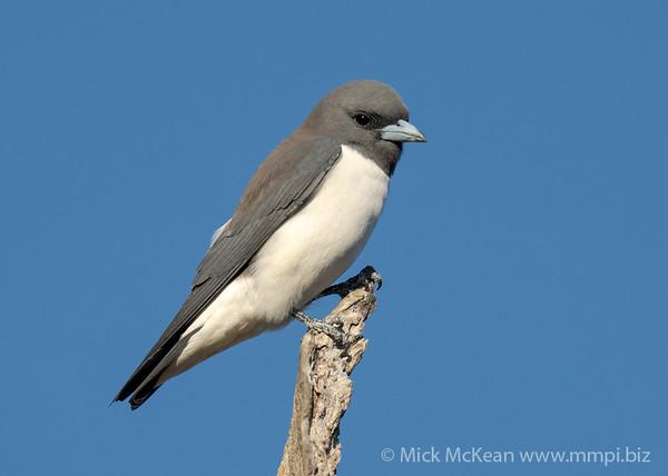 MMPI_20201005_MMPI0064_0002 - White-breasted Woodswallow (Artamus leucorynchus) perching atop a dead tree trunk.