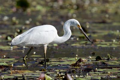 MMPI_20201005_MMPI0064_0009 - Intermediate Egret (Egretta intermedia) hunting for food on a lagoon.