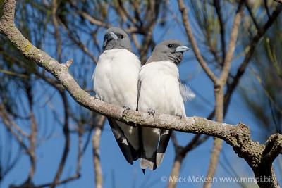 MMPI_20201005_MMPI0064_0003 - White-breasted Woodswallow (Artamus leucorynchus) pair perching on a branch.