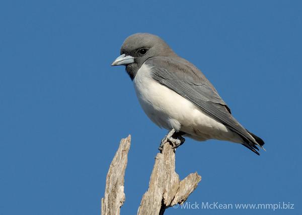 MMPI_20201005_MMPI0064_0001 - White-breasted Woodswallow (Artamus leucorynchus) perching atop a dead tree trunk.