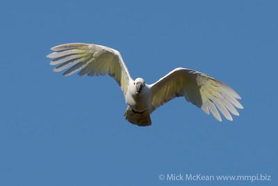 MMPI_20201010_MMPI0064_0004 - Sulphur-crested Cockatoo (Cacatua galerita) in flight.