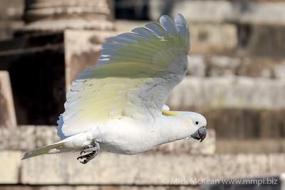 MMPI_20201010_MMPI0064_0003 - Sulphur-crested Cockatoo (Cacatua galerita) in flight.