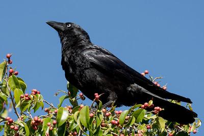 MMPI_20201010_MMPI0064_0009 - Torresian Crow (Corvus orru) perching in a fruiting fig tree.