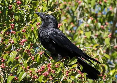 MMPI_20201010_MMPI0064_0010 - Torresian Crow (Corvus orru) perching in a fruiting fig tree.