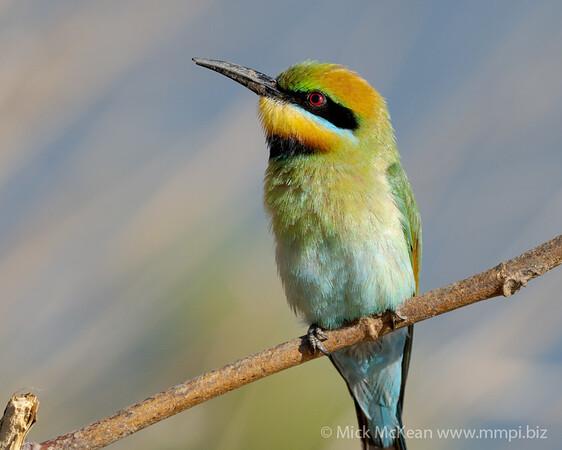 MMPI_20201019_MMPI0064_0021 - Rainbow Bee-eater (Merops ornatus) perching on a branch.
