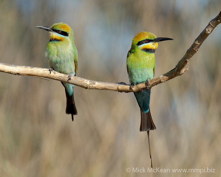 MMPI_20201019_MMPI0064_0023 - Rainbow Bee-eater (Merops ornatus) pair perching on a bare branch.