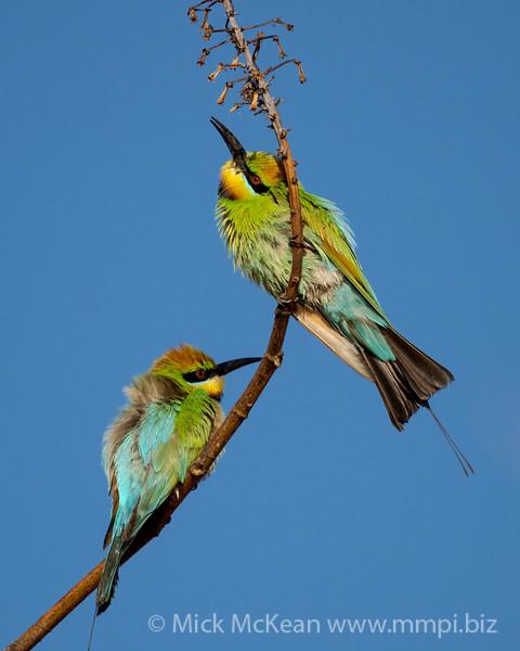 MMPI_20201019_MMPI0064_0003 - Rainbow Bee-eater (Merops ornatus) pair perching on a branch.