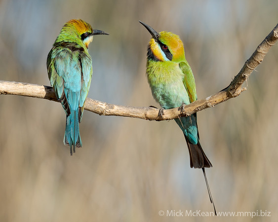 MMPI_20201019_MMPI0064_0016 - Rainbow Bee-eater (Merops ornatus) pair perching on a bare branch.