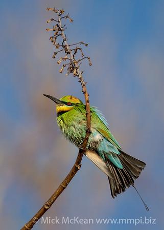 MMPI_20201019_MMPI0064_0006 - Rainbow Bee-eater (Merops ornatus) perching on a branch.