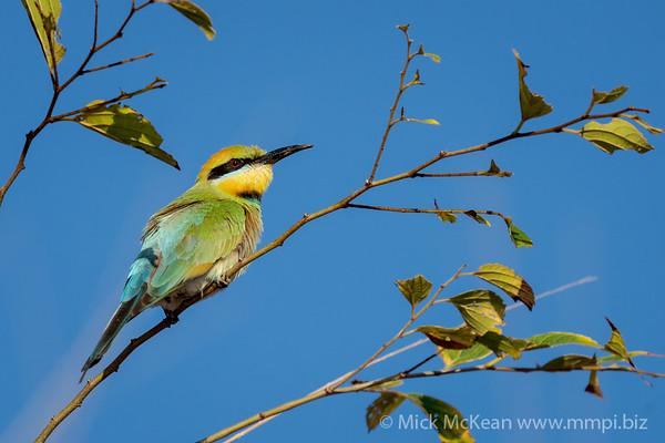 MMPI_20201019_MMPI0064_0007 - Rainbow Bee-eater (Merops ornatus) (female) perching in a tree.