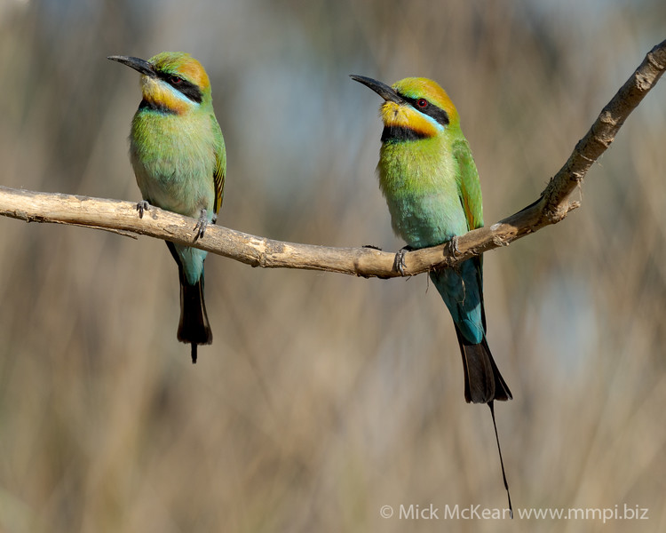 MMPI_20201019_MMPI0064_0022 - Rainbow Bee-eater (Merops ornatus) pair perching on a bare branch.