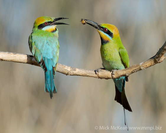 MMPI_20201019_MMPI0064_0017 - Rainbow Bee-eater (Merops ornatus) (male) presenting a bee catch to its mate.