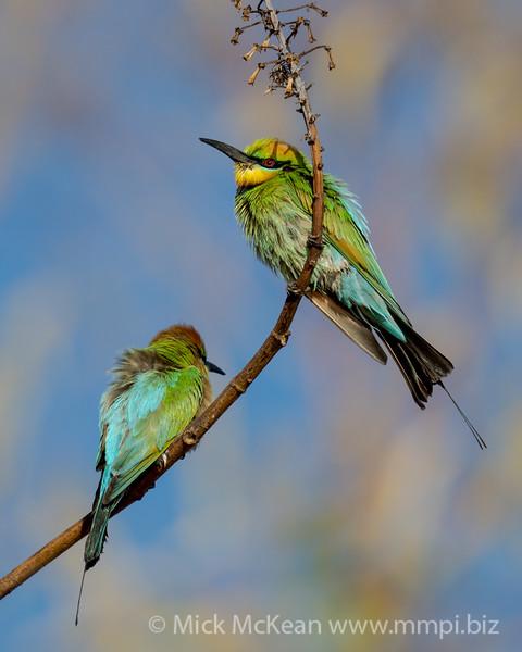 MMPI_20201019_MMPI0064_0004 - Rainbow Bee-eater (Merops ornatus) pair perching on a branch.