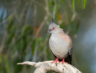 MMPI_20201031_MMPI0064_0006 - Crested Pigeon (Ocyphaps lophotes) perching in a Melaleuca tree.