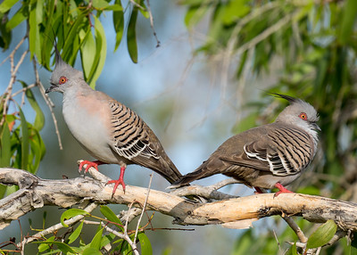 MMPI_20201031_MMPI0064_0002 - Crested Pigeon (Ocyphaps lophotes) pair perching in a Melaleuca tree.