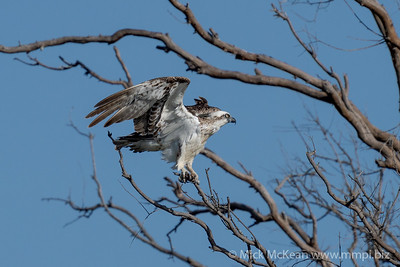 MMPI_20201031_MMPI0064_0010 - Eastern Osprey (Pandion cristatus) in a dead tree with wings spread due to a gust of wind.
