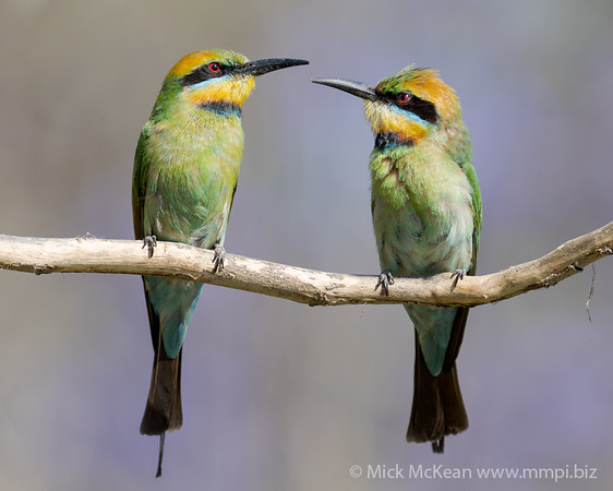 MMPI_20201102_MMPI0064_0034 - Rainbow Bee-eater (Merops ornatus) pair perching on a branch.