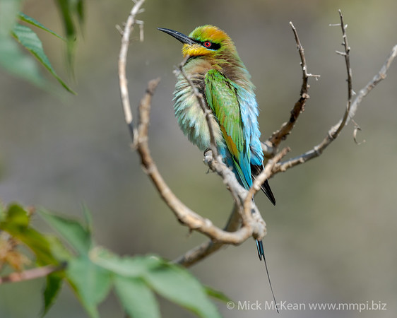 MMPI_20201102_MMPI0064_0032 - Rainbow Bee-eater (Merops ornatus) (male) fluffed up on a branch.