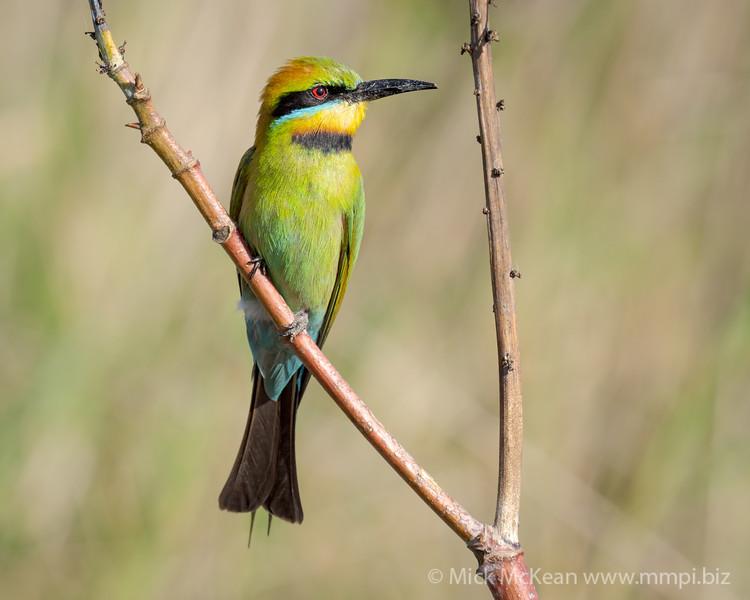 MMPI_20201102_MMPI0064_0021 - Rainbow Bee-eater (Merops ornatus) perching on a branch.