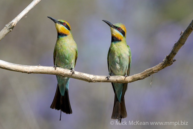 MMPI_20201102_MMPI0064_0033 - Rainbow Bee-eater (Merops ornatus) pair on a branch looking up at passing prey.