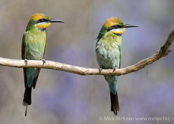 MMPI_20201102_MMPI0064_0035 - Rainbow Bee-eater (Merops ornatus) pair perching on a branch.