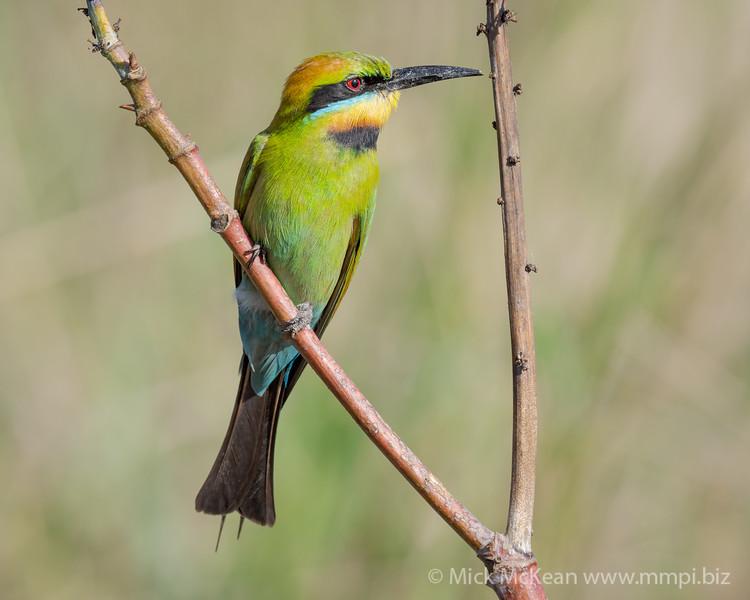 MMPI_20201102_MMPI0064_0030 - Rainbow Bee-eater (Merops ornatus) perching on a branch.