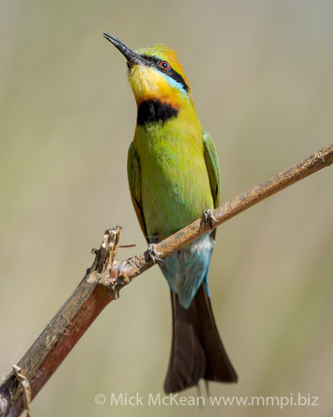 MMPI_20201102_MMPI0064_0045 - Rainbow Bee-eater (Merops ornatus) calling from a branch.
