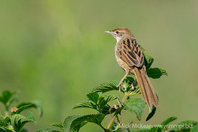 MMPI_20201107_MMPI0064_0006 - Tawny Grassbird (Megalurus timoriensis) perching on a Lantana shrub.