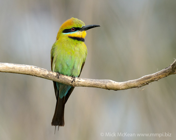 MMPI_20201108_MMPI0064_0004 - Rainbow Bee-eater (Merops ornatus) (immature male) perching on a branch.