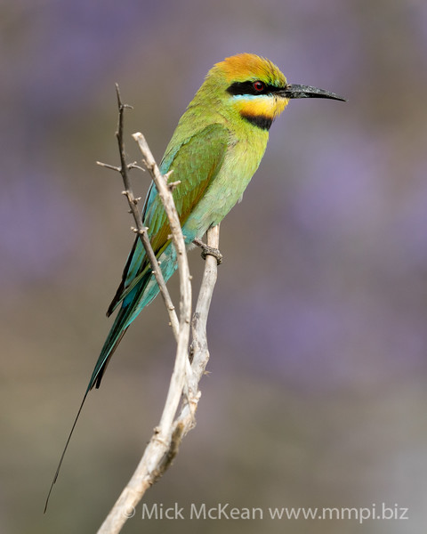 MMPI_20201108_MMPI0064_0001 - Rainbow Bee-eater (Merops ornatus) (male) perching on a branch.