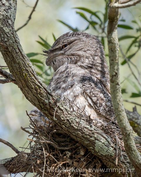 MMPI_20201109_MMPI0064_0010 - Tawny Frogmouth (Podargus strigoides) sitting on its small nest of sticks.