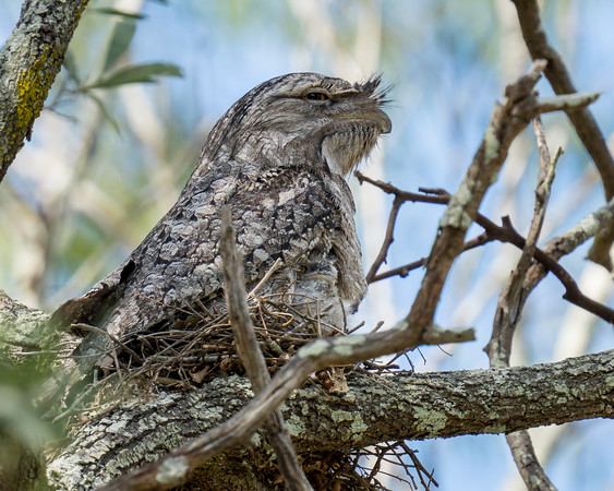 MMPI_20201109_MMPI0064_0012 - Tawny Frogmouth (Podargus strigoides) sitting on its small nest of sticks with nestling peering out from underneath.