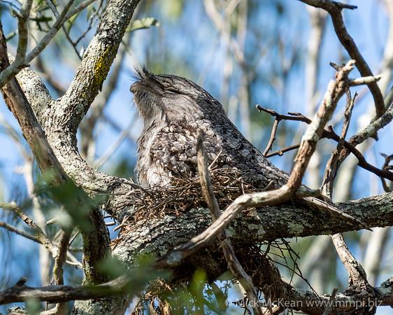 MMPI_20201109_MMPI0064_0002 - Tawny Frogmouth (Podargus strigoides) sitting on its small nest of sticks.