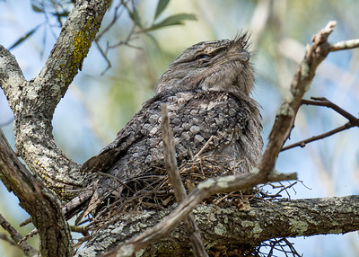 MMPI_20201109_MMPI0064_0013 - Tawny Frogmouth (Podargus strigoides) sitting on its small nest of sticks.