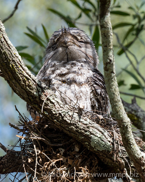 MMPI_20201109_MMPI0064_0006 - Tawny Frogmouth (Podargus strigoides) sitting on its small nest of sticks with nestling peering out from underneath.