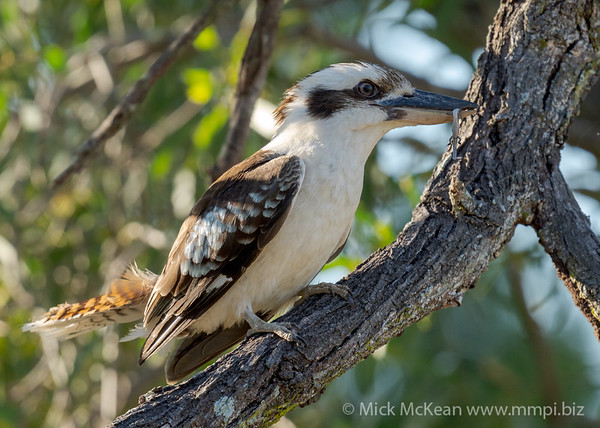 MMPI_20201111_MMPI0064_0001 - Laughing Kookaburra (Dacelo novaeguineae) perching on a tree branch with a Skink catch.