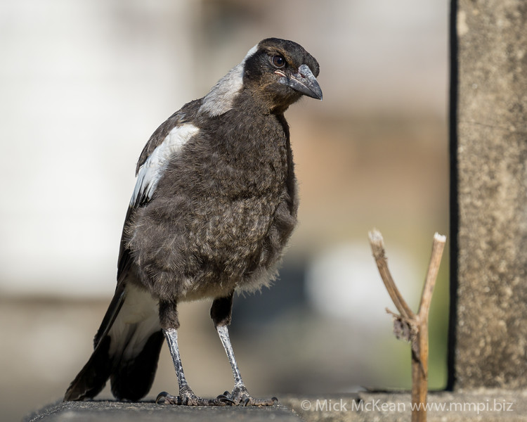 MMPI_20201111_MMPI0064_0018 - Australian Magpie (Gymnorhina tibicen) (immature) standing on a grave.