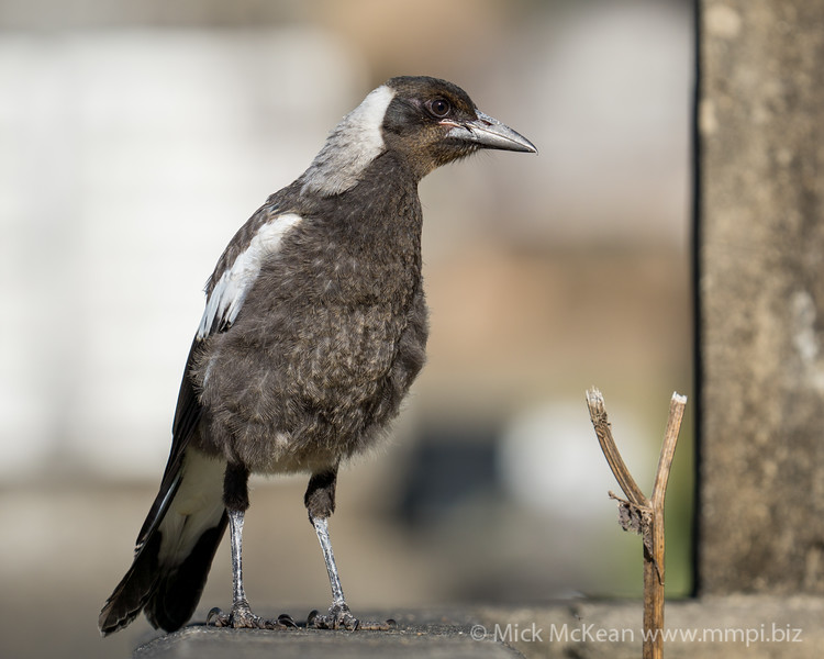 MMPI_20201111_MMPI0064_0019 - Australian Magpie (Gymnorhina tibicen) (immature) standing on a grave.