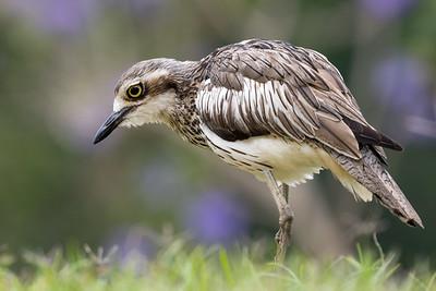 MMPI_20201115_MMPI0064_0008 - Bush Stone-curlew (Burhinus grallarius) standing on a lawn.